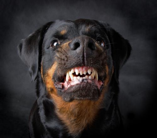 rottweiler kampfhund